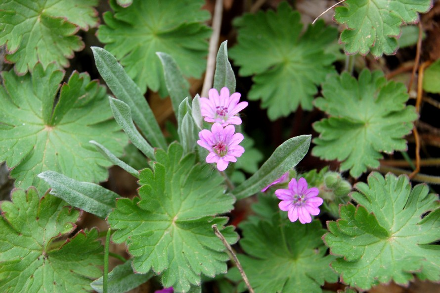 Geranium molle subsp. molle