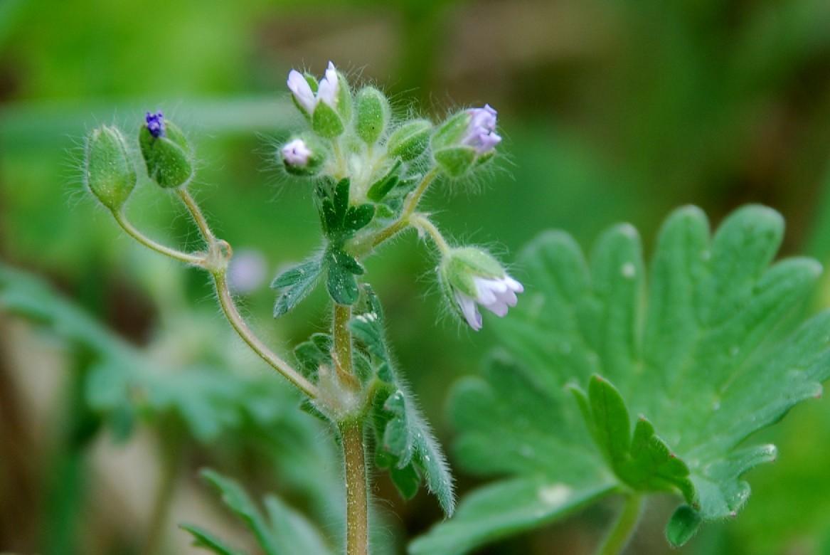 Geranium molle subsp. molle 10