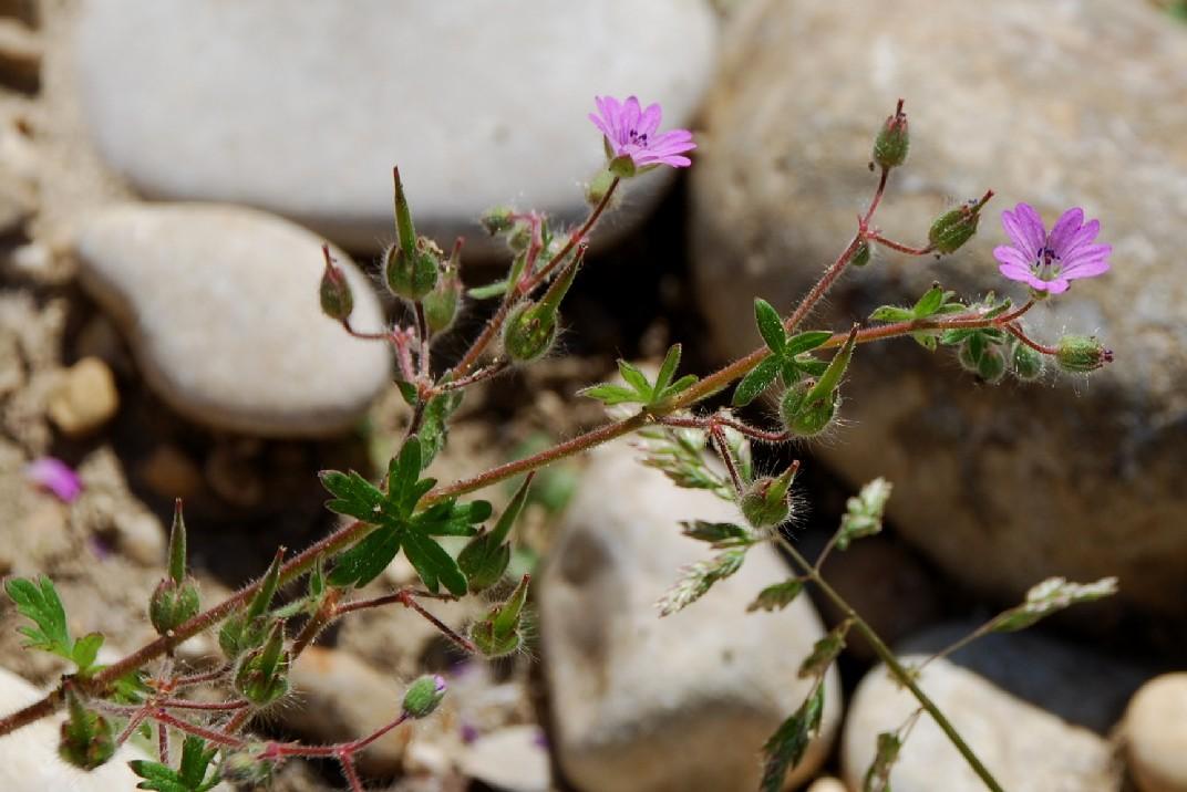 Geranium molle subsp. molle 13