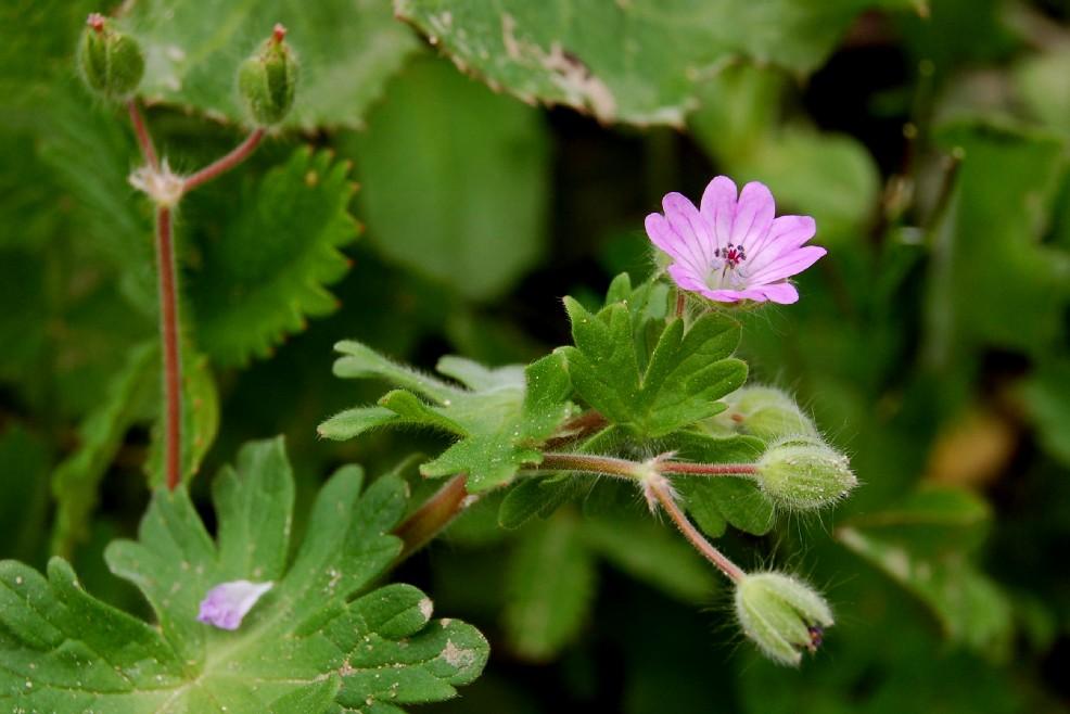 Geranium molle subsp. molle 2