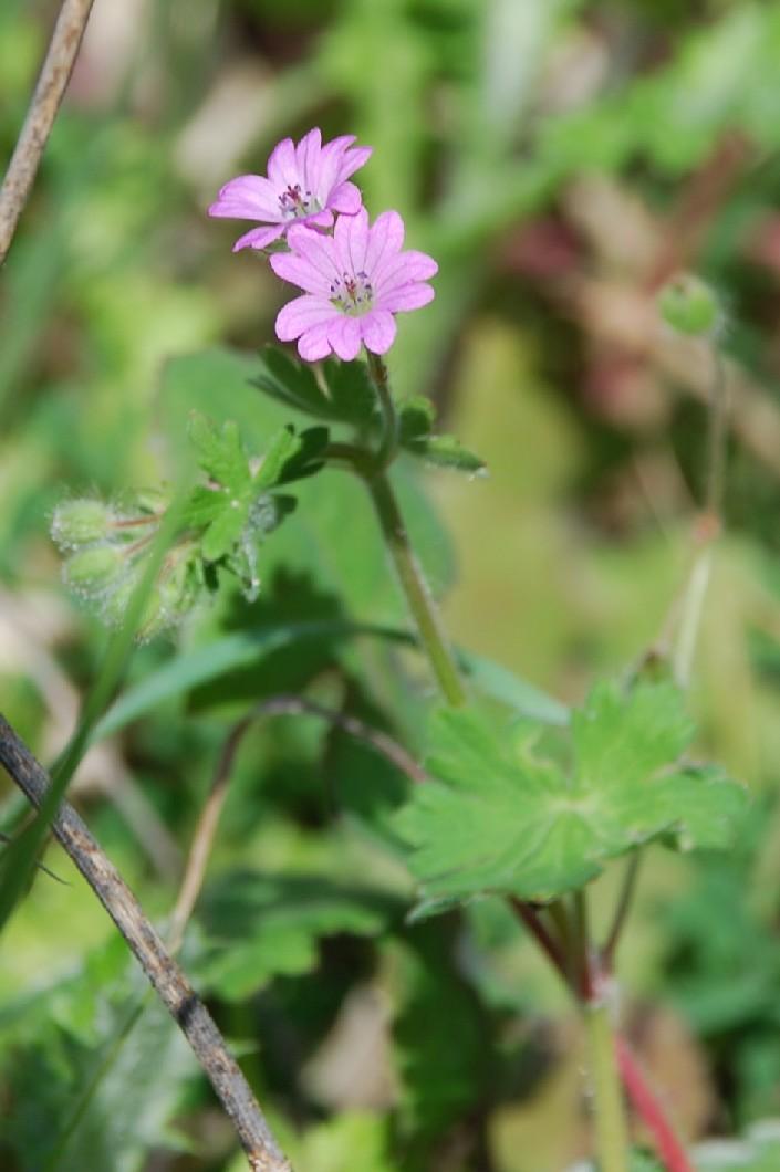 Geranium molle subsp. molle 4