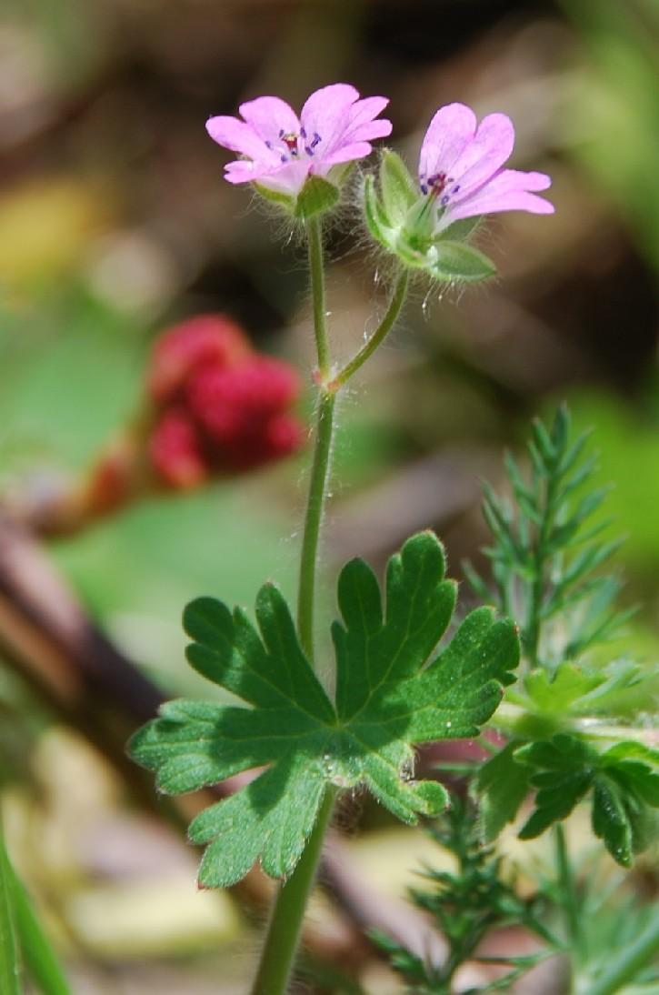 Geranium molle subsp. molle 5