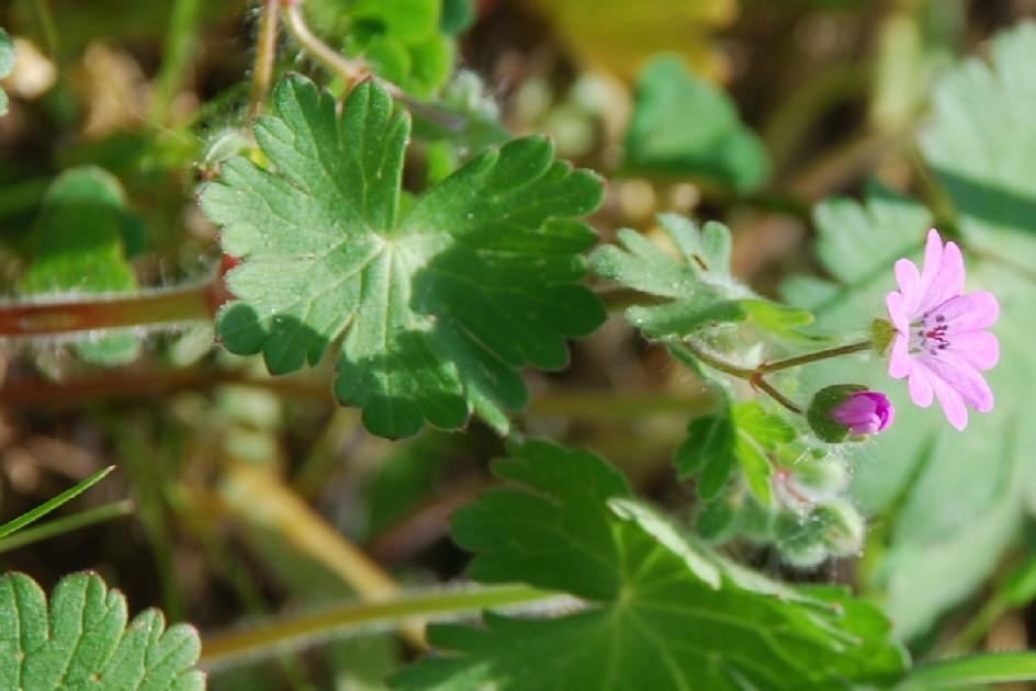 Geranium molle subsp. molle 6