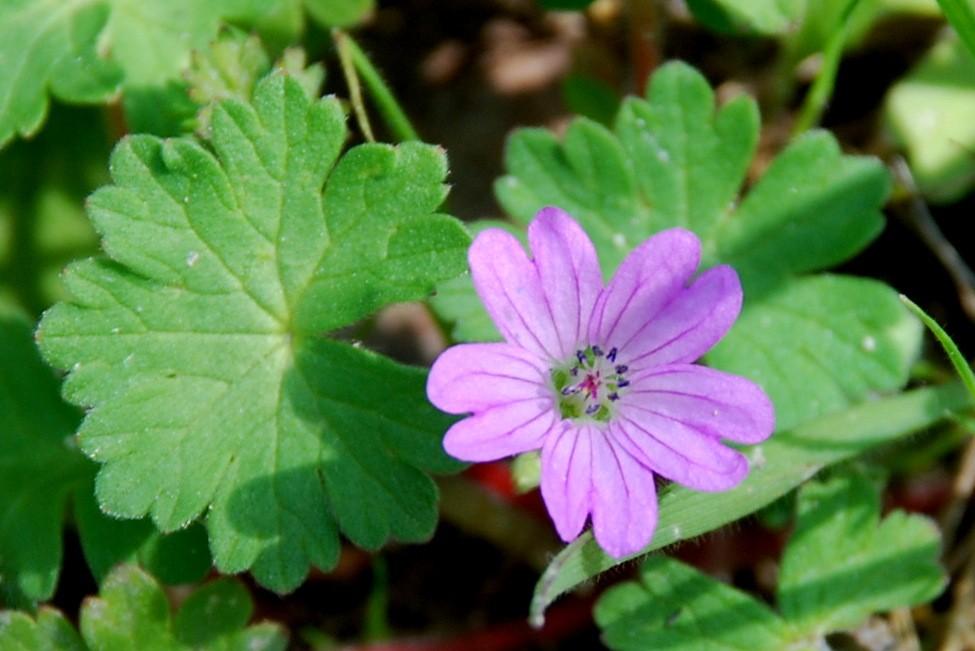 Geranium molle subsp. molle 7