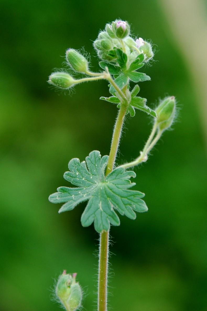 Geranium molle subsp. molle 9