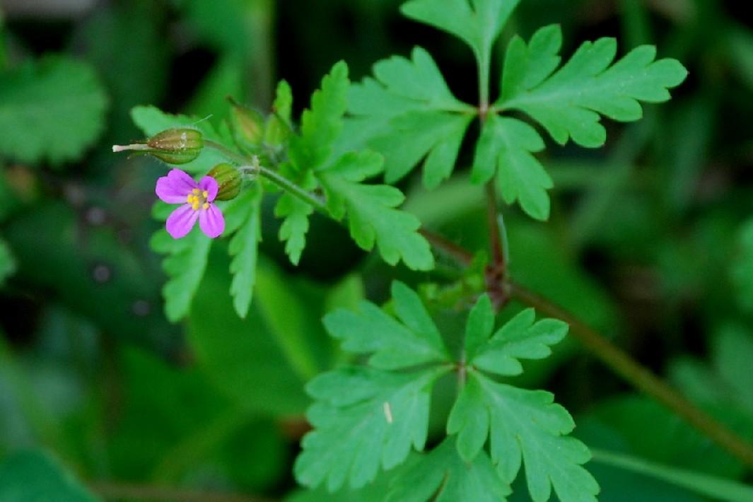 Geranium purpureum 14