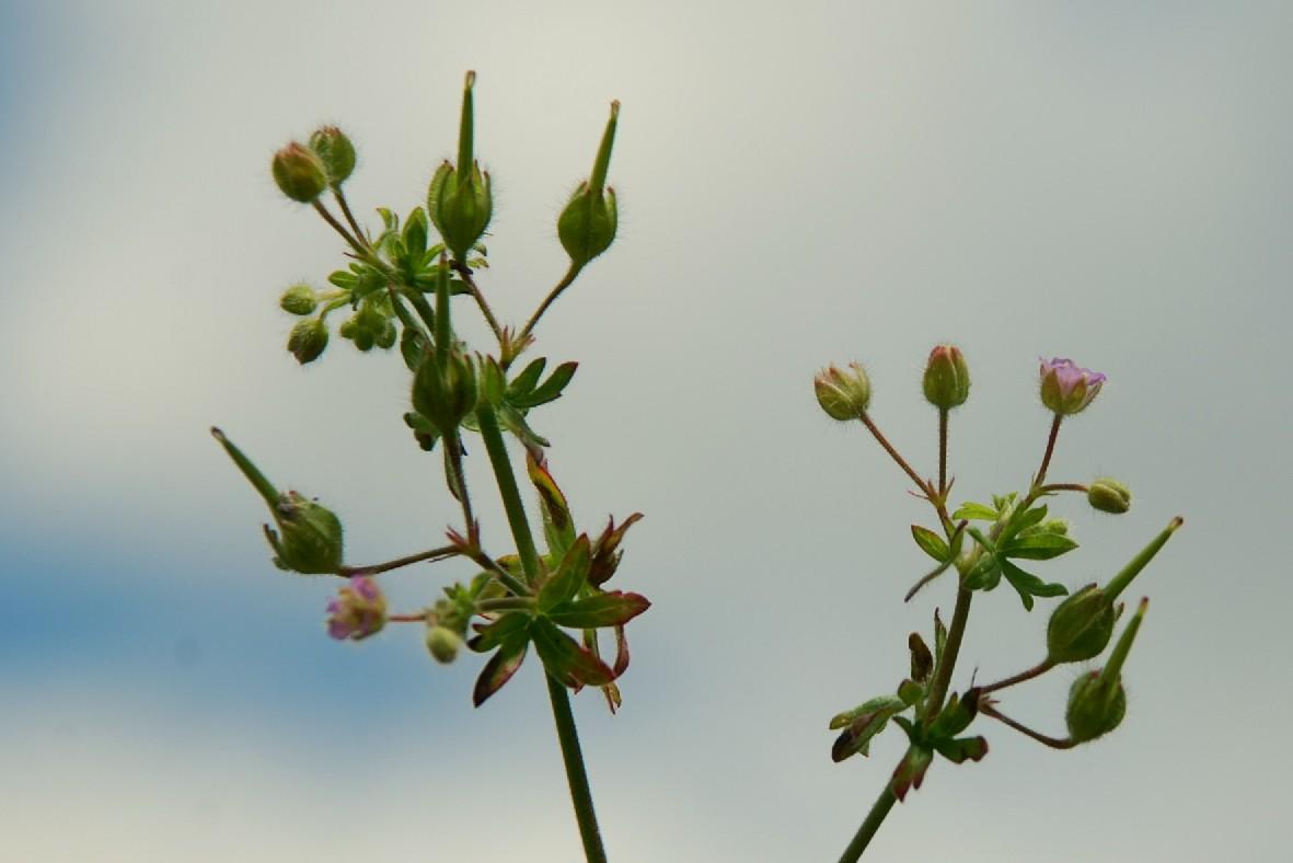 Geranium pusillum 12