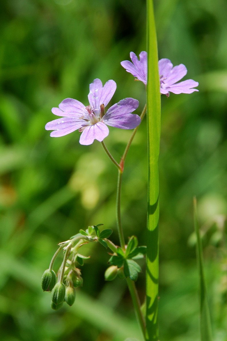 Geranium pyrenaicum 13