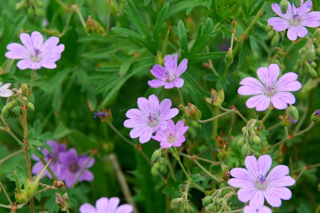 Geranium pyrenaicum 9