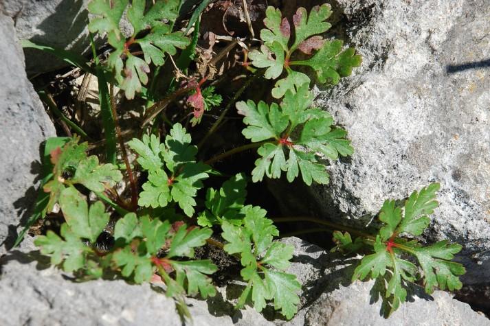 Geranium robertianum subsp. purpureum 11
