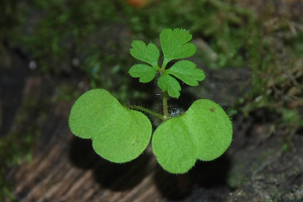 Geranium robertianum subsp. purpureum 16