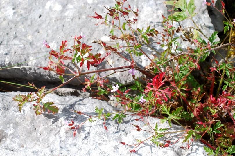 Geranium robertianum subsp. purpureum 17