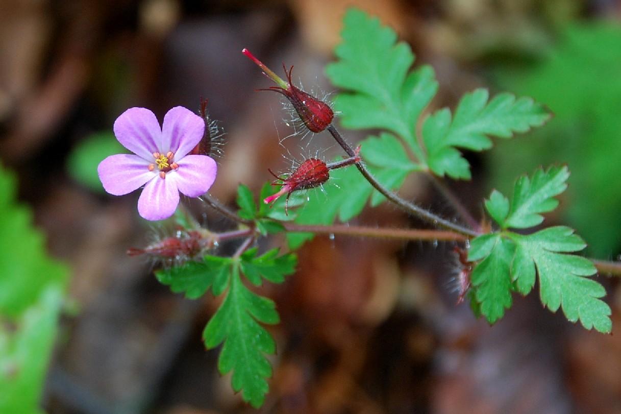 Geranium robertianum subsp. robertianum 16