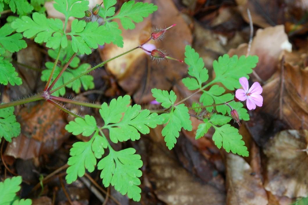 Geranium robertianum subsp. robertianum 19