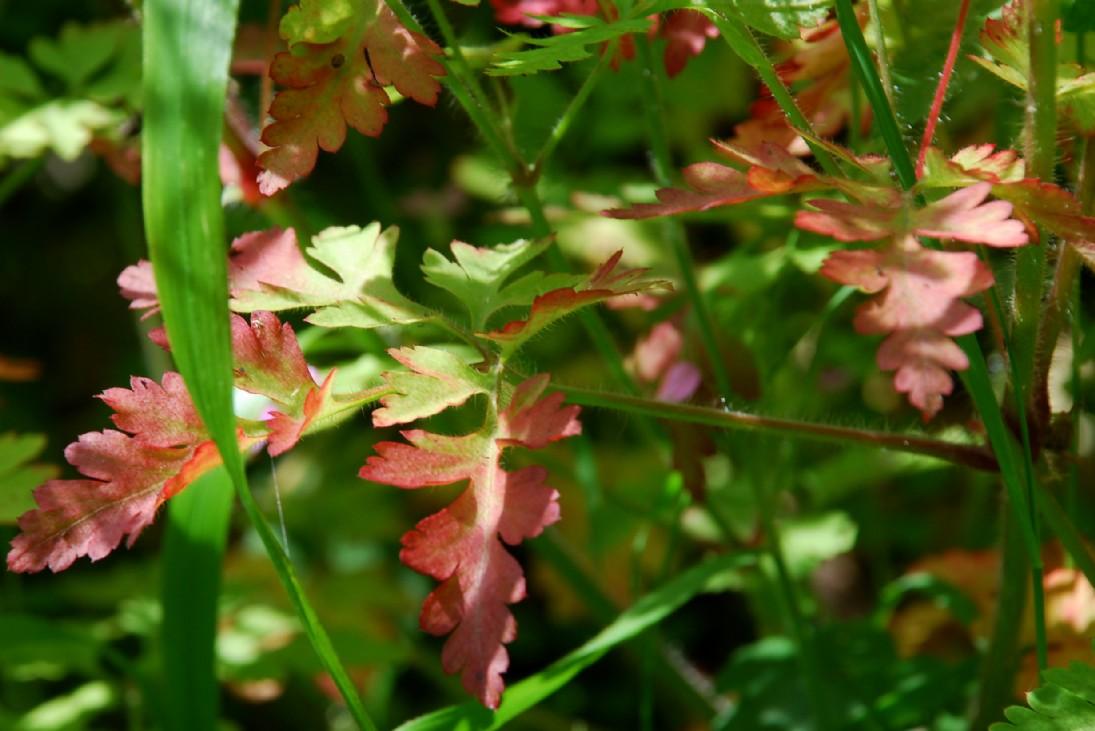 Geranium robertianum subsp. robertianum 22