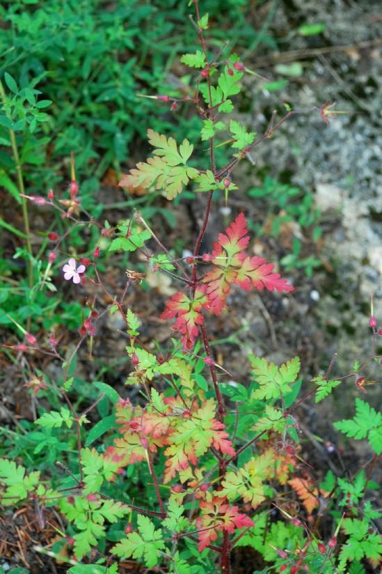 Geranium robertianum subsp. robertianum 26