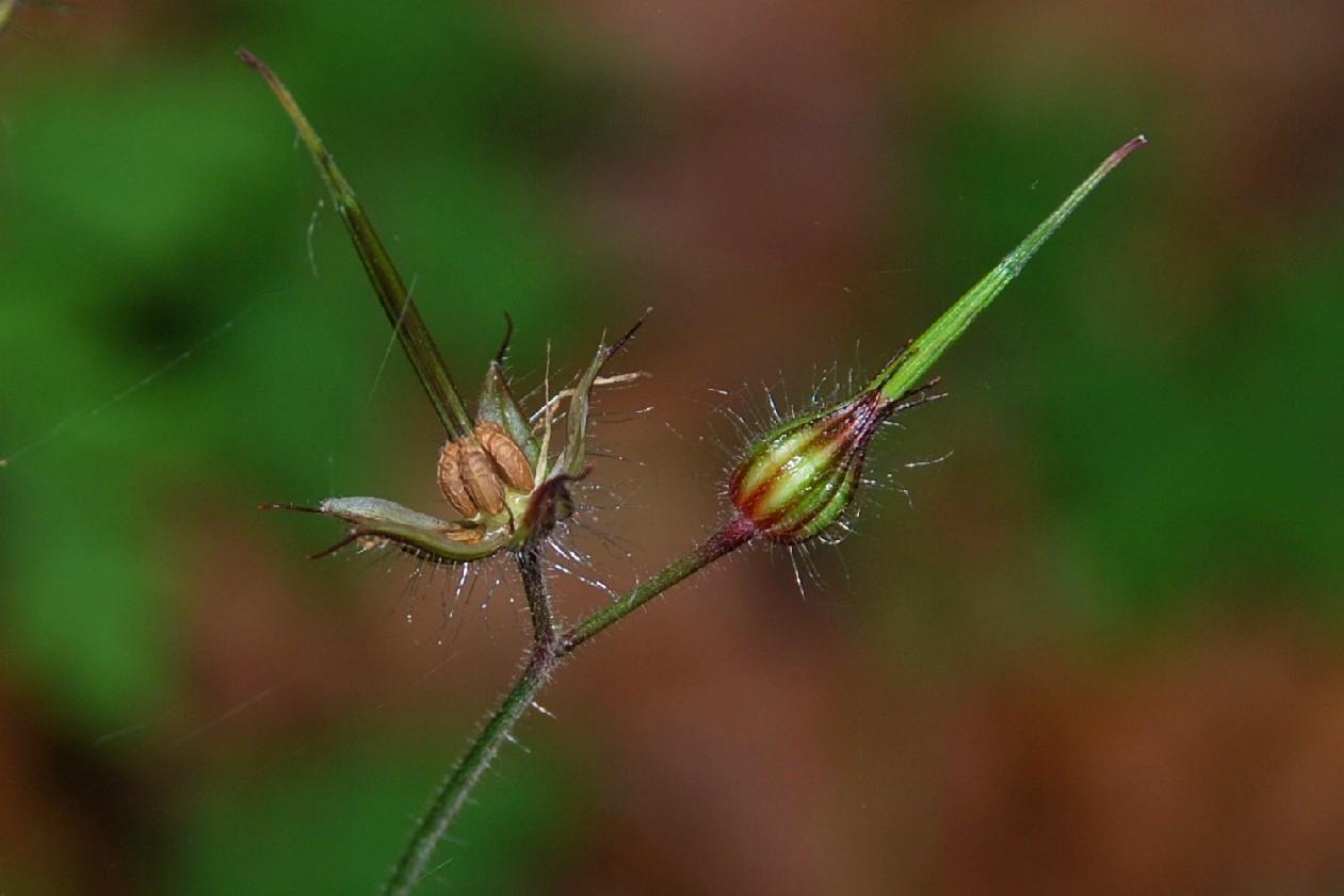 Geranium robertianum subsp. robertianum 27