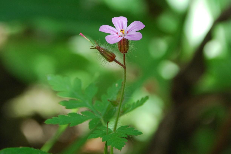 Geranium robertianum subsp. robertianum 5