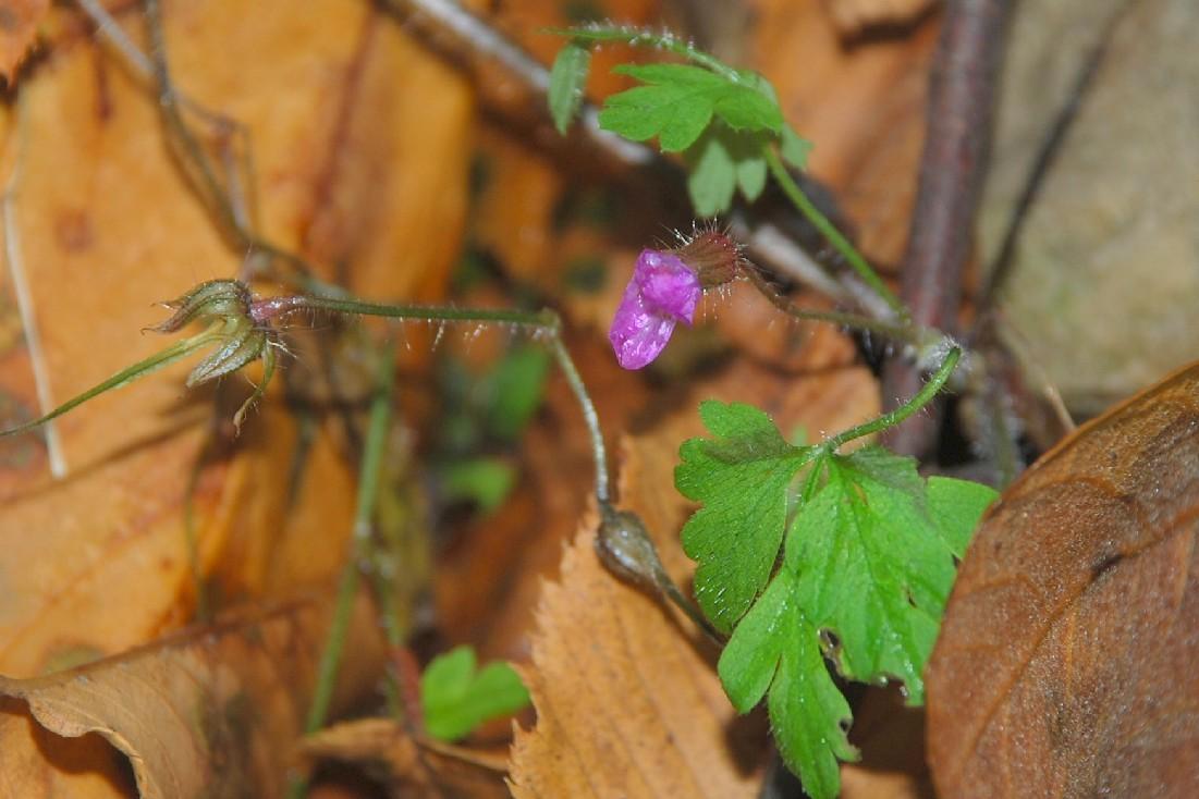 Geranium robertianum subsp. robertianum 6