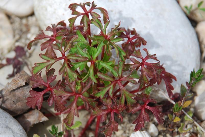 Geranium robertianum susp. purpureum 10