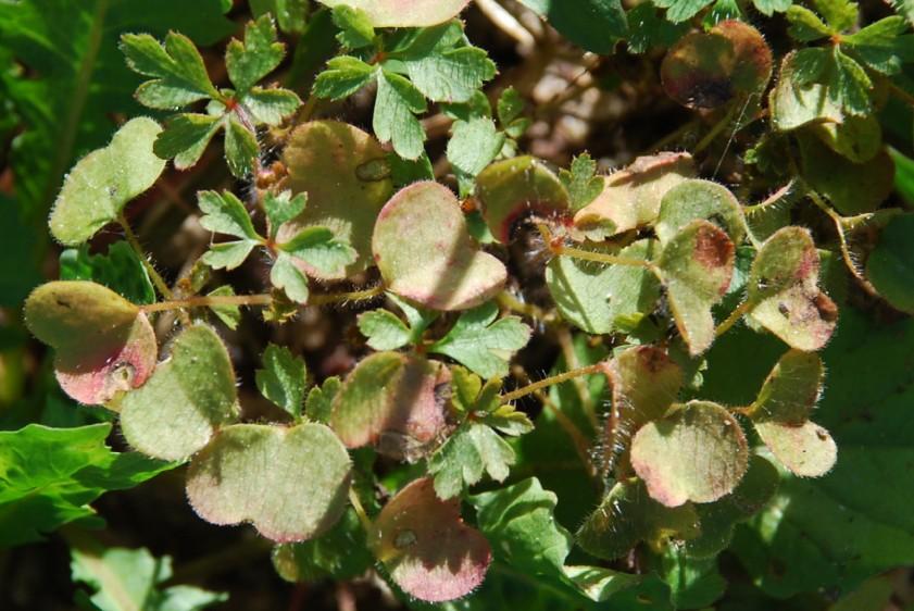 Geranium robertianum susp. purpureum 2