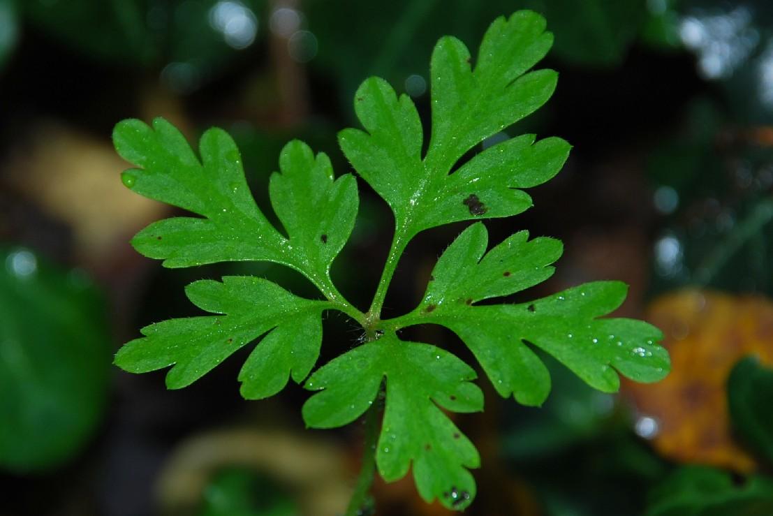 Geranium robertianum susp. purpureum 4