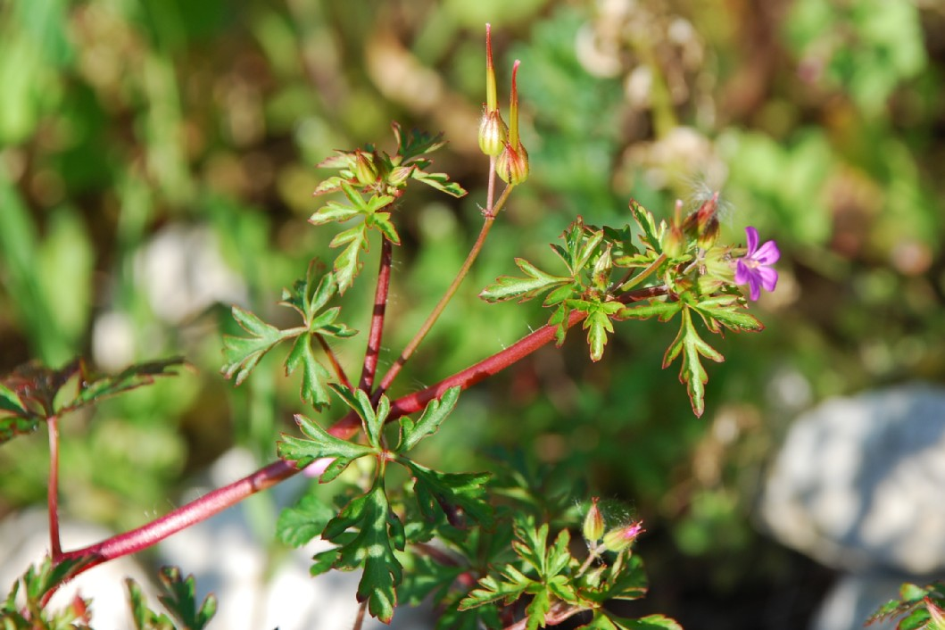 Geranium robertianum subsp. purpureum 7