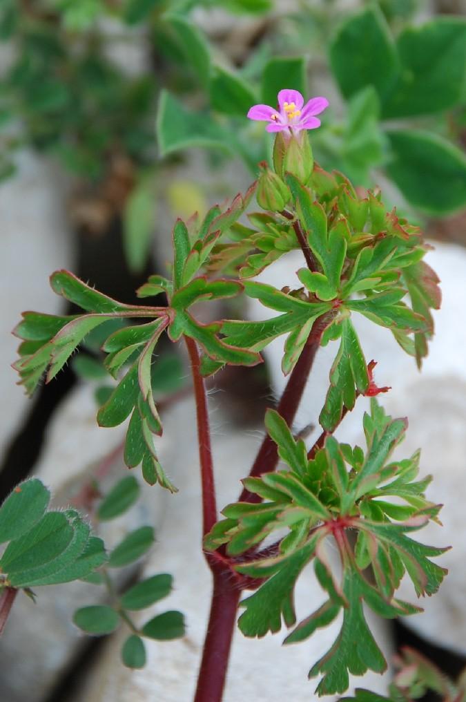 Geranium robertianum subsp. purpureum 9