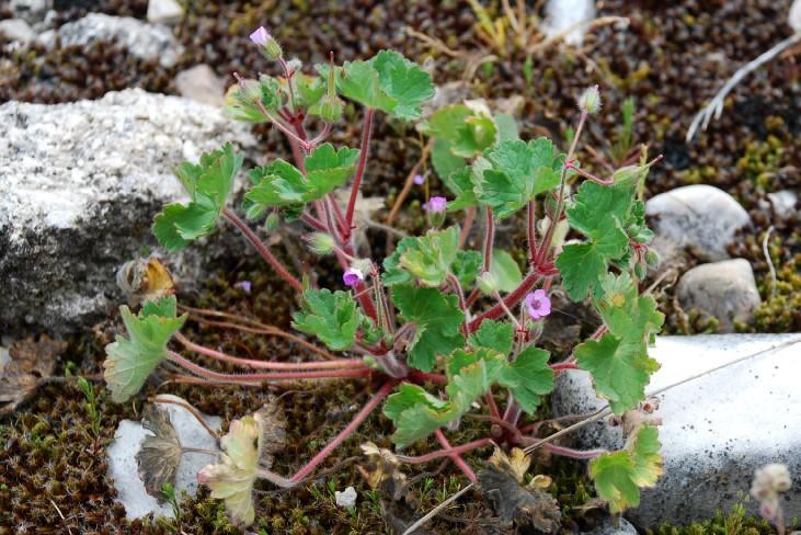 Geranium rotundifolium 11