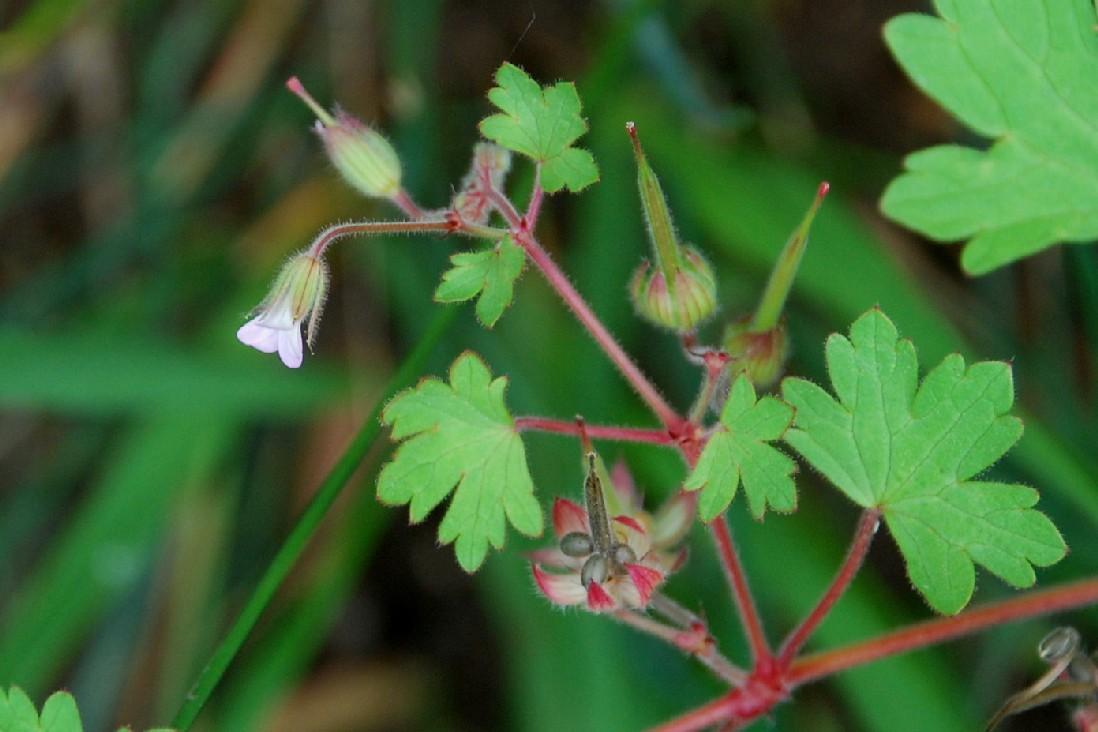 Geranium rotundifolium 15
