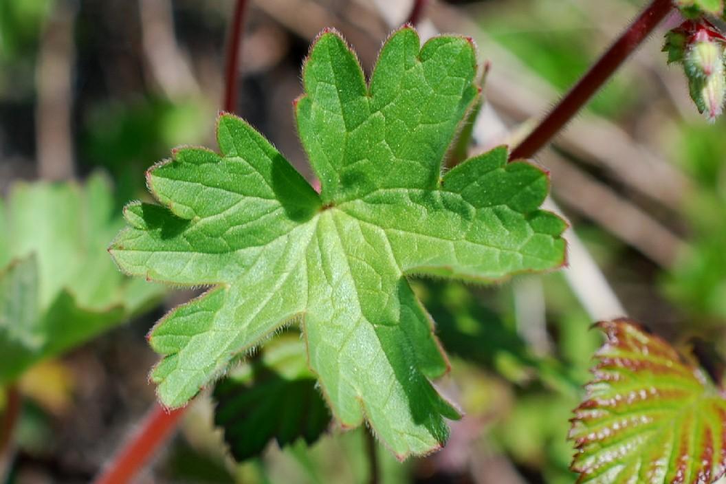 Geranium rotundifolium 20
