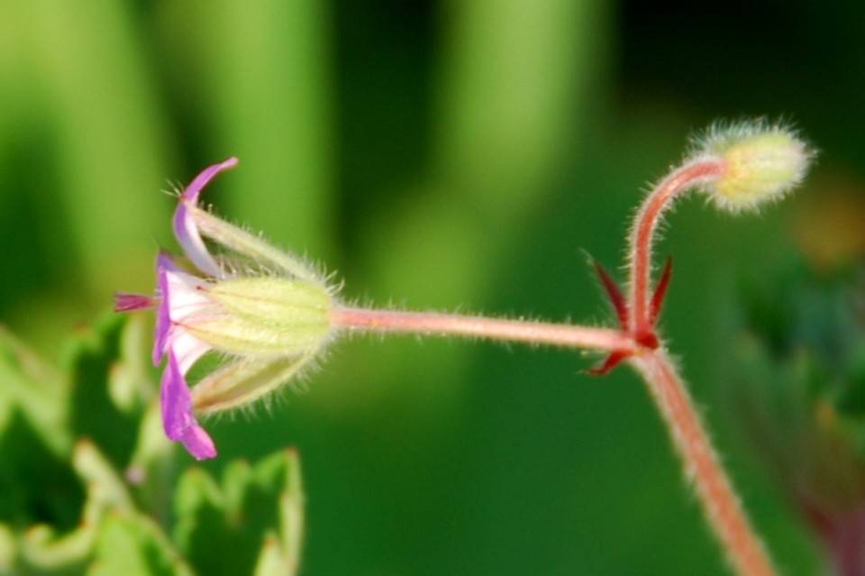 Geranium rotundifolium 5