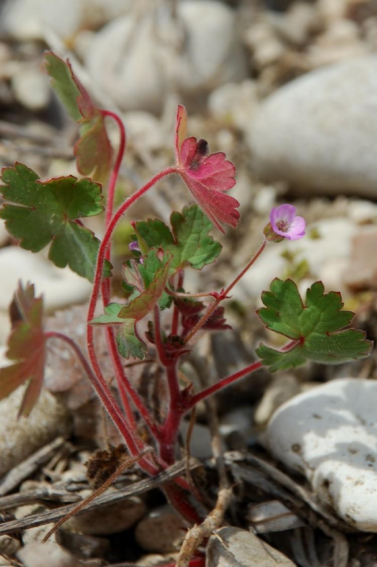 Geranium rotundifolium 8