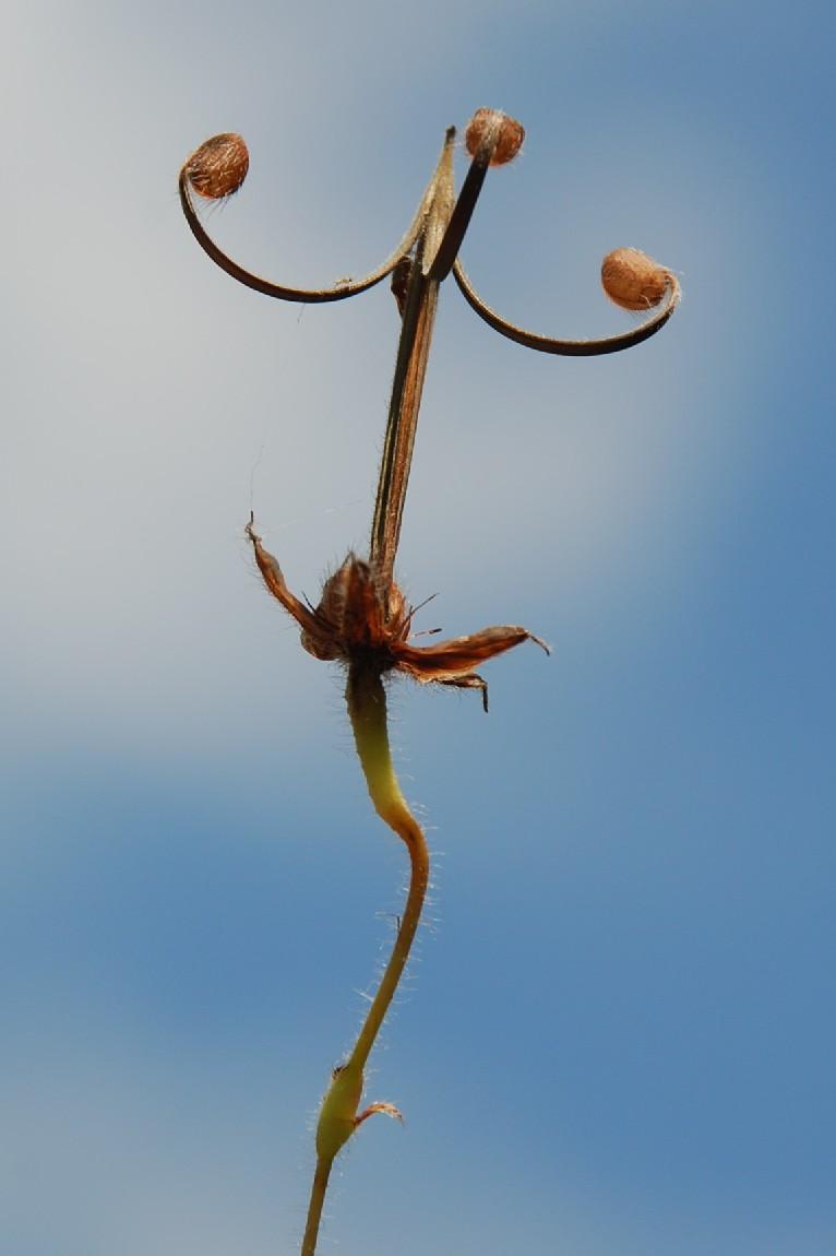 Geranium sanguineum 18