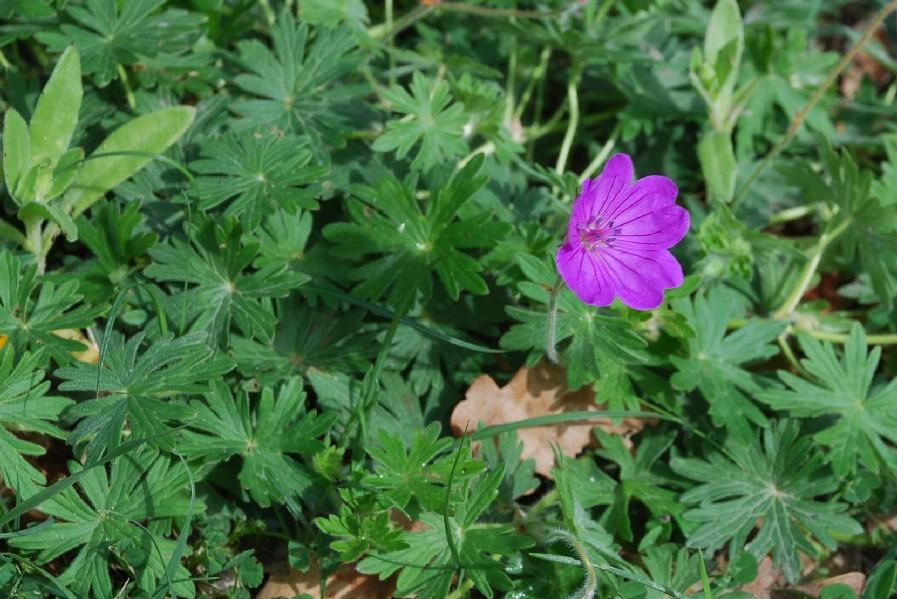 Geranium sanguineum 8