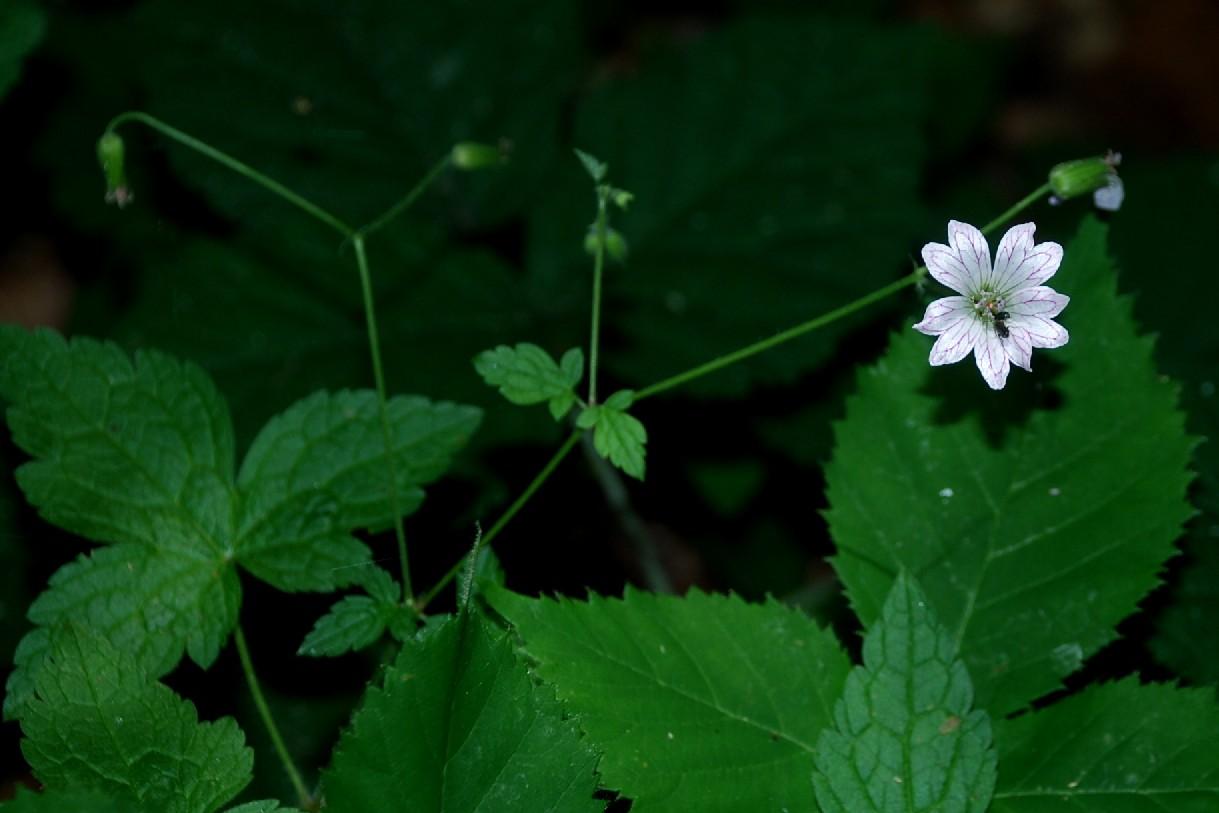 Geranium versicolor 11