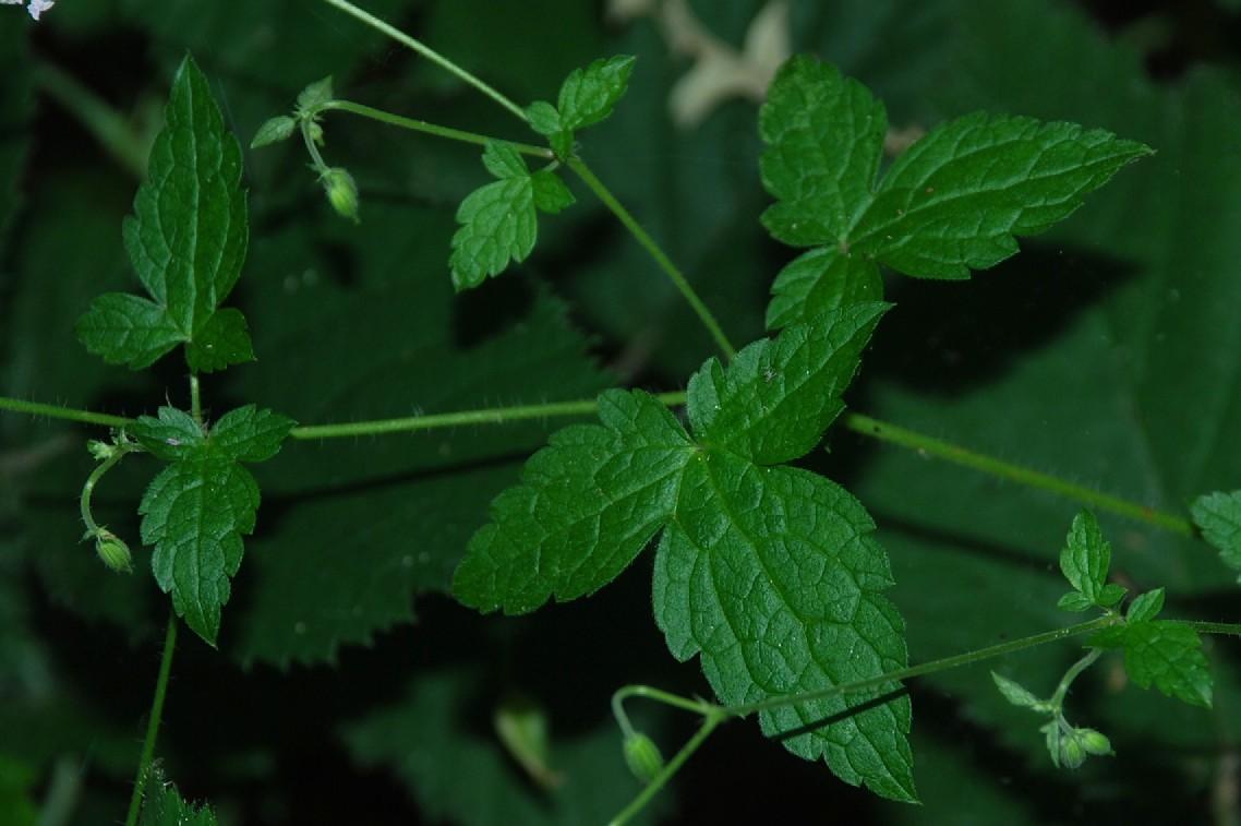 Geranium versicolor 12
