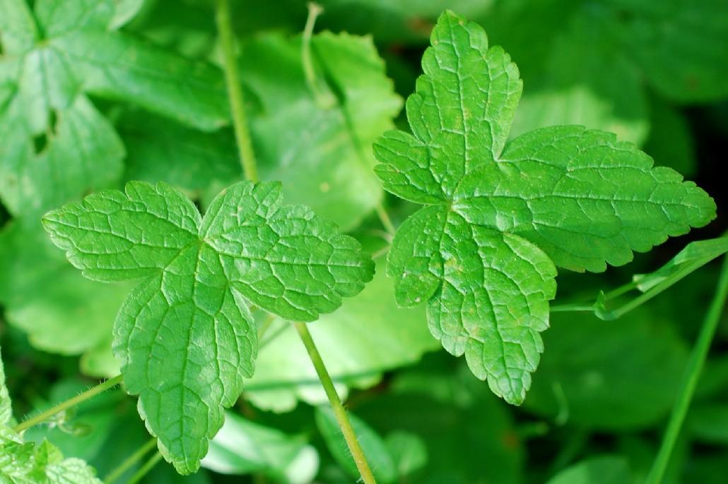 Geranium versicolor 17