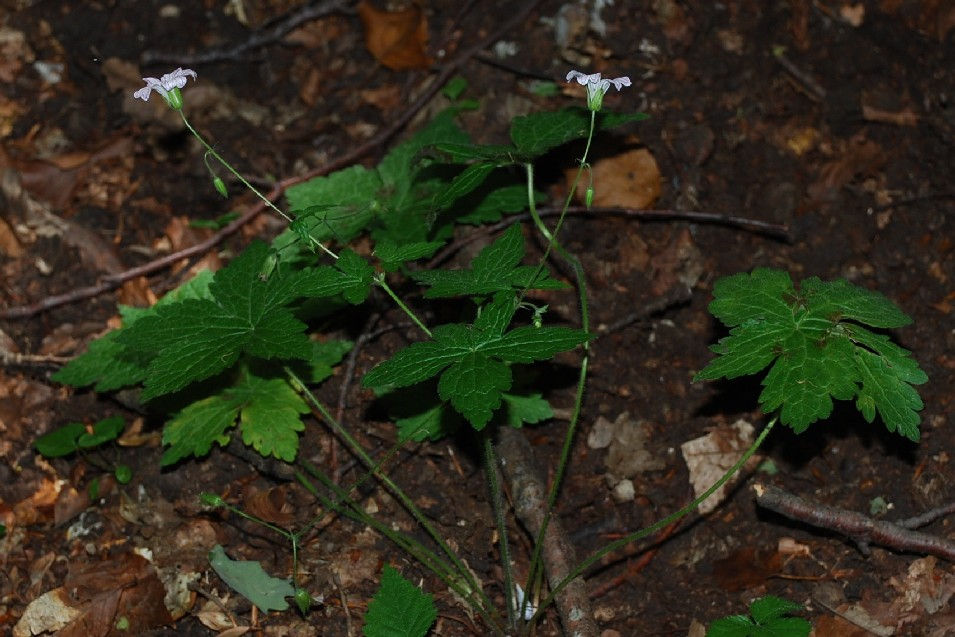 Geranium versicolor 9