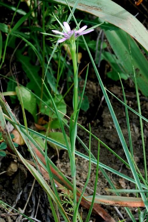 Geropogon glaber  4