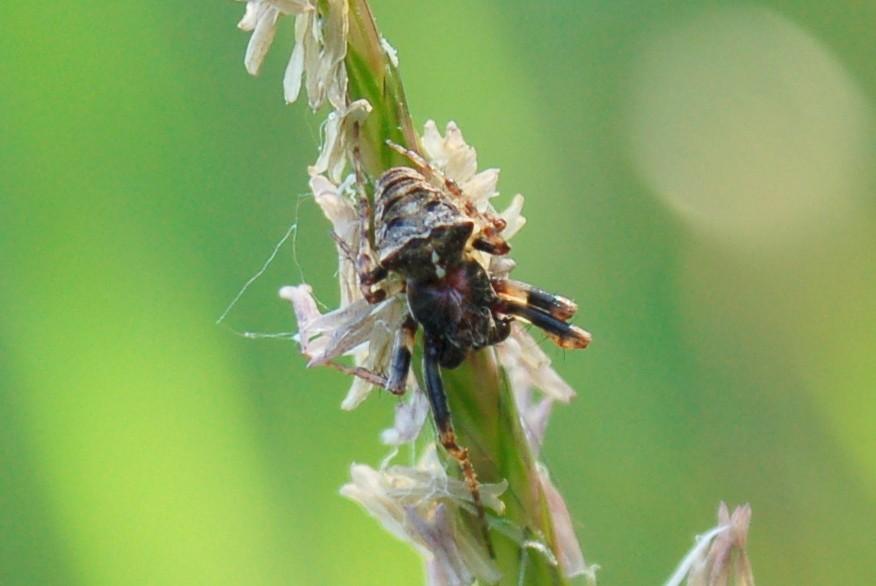 Gibbaranea bituberculata - Araneidae