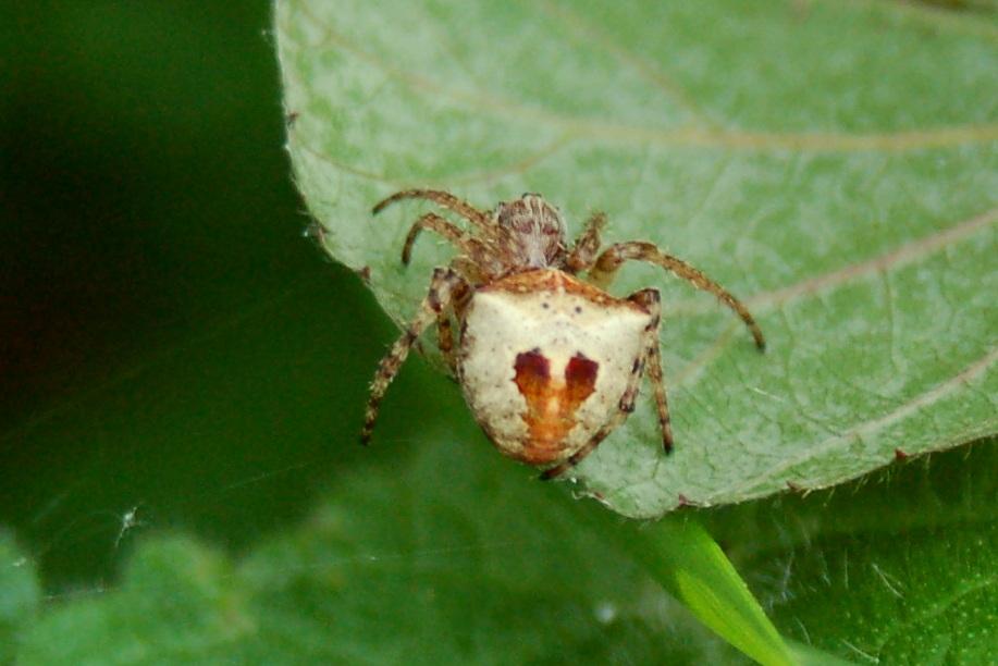 Gibbaranea sp. - Araneidae