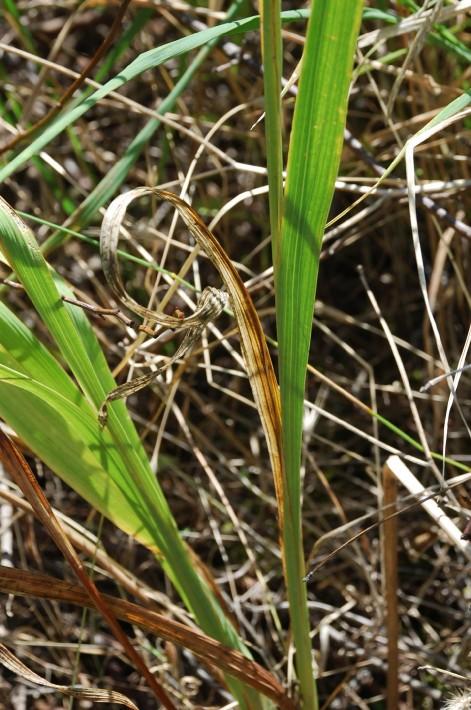Gladiolus italicus 10