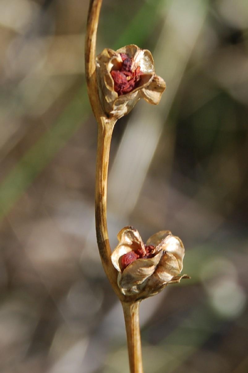 Gladiolus italicus 12