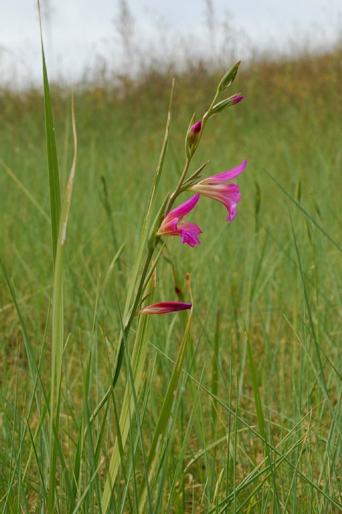 Gladiolus italicus 16