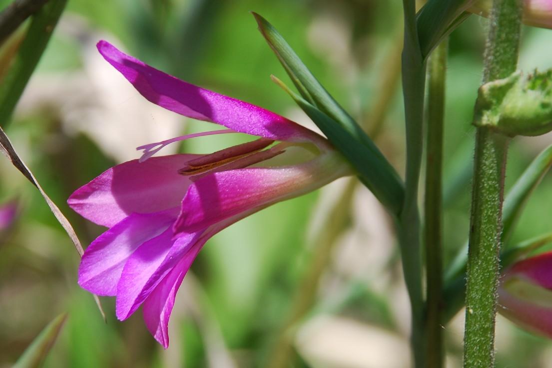Gladiolus italicus 17