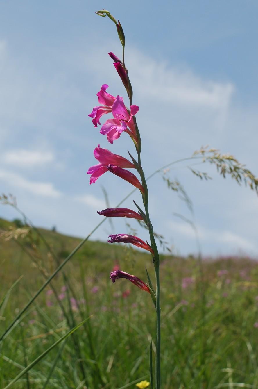 Gladiolus italicus 20