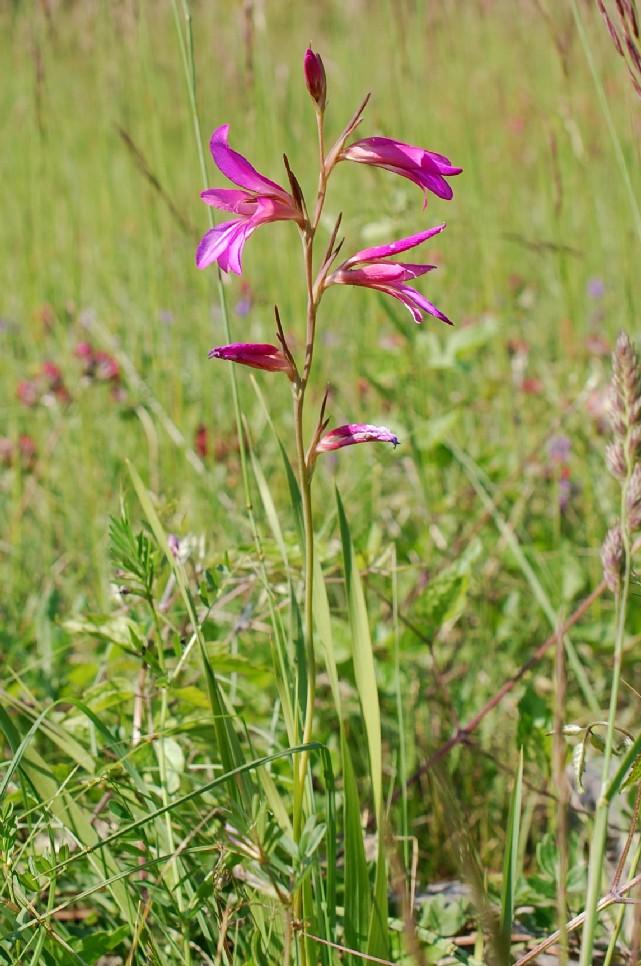 Gladiolus italicus 24
