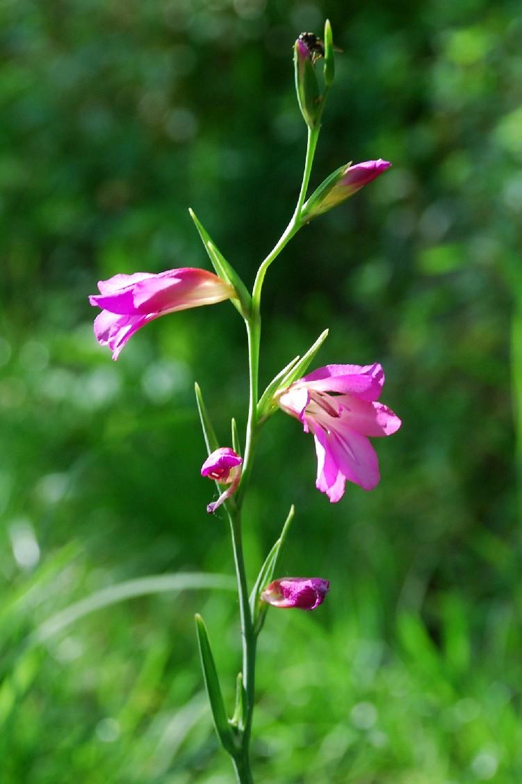 Gladiolus italicus 6