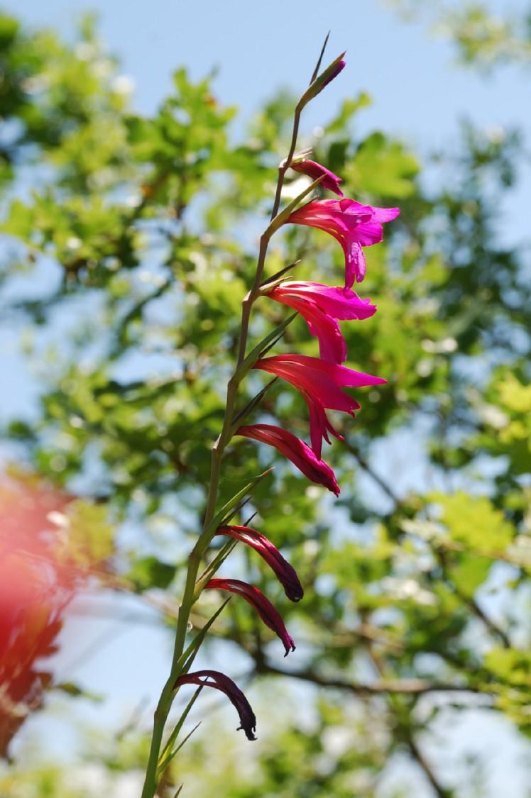Gladiolus italicus 9